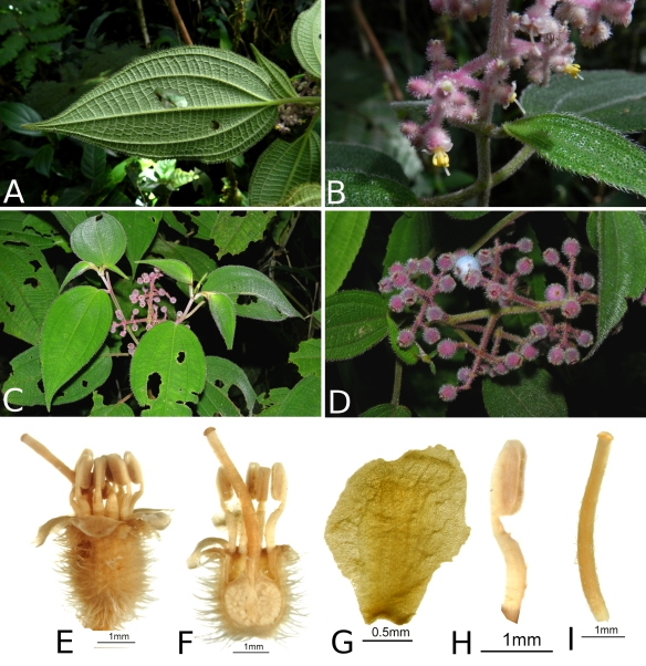 Miconia_costaricensis_RK5717