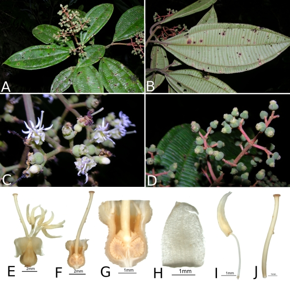 Miconia_nutans_RK5431_plate