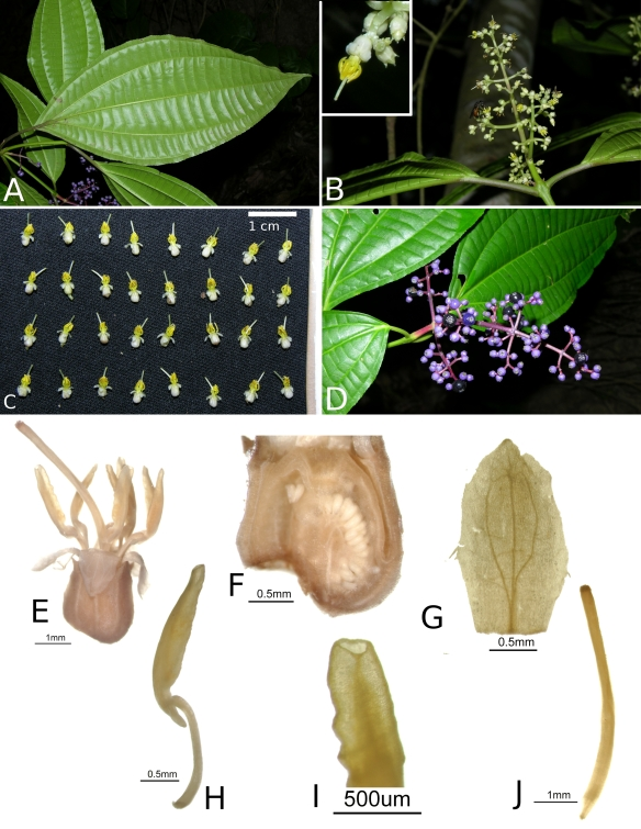Miconia_centrodesma_RK5584_plate