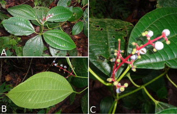 Miconia_lamprophylla_IC427